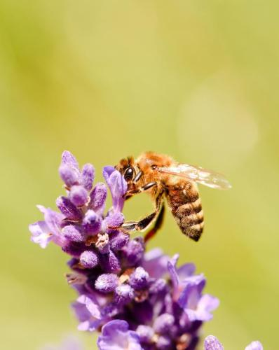 honeybee-flower-bloom-purple-lavender-vertical-photo-detail-single-bee-which-collecting-pollen-violet-detail-74016019